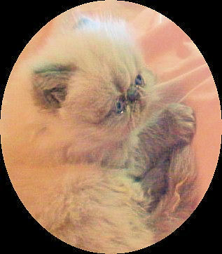 Kitty Cat Breeders - Kittens for Sale - Cats for Sale