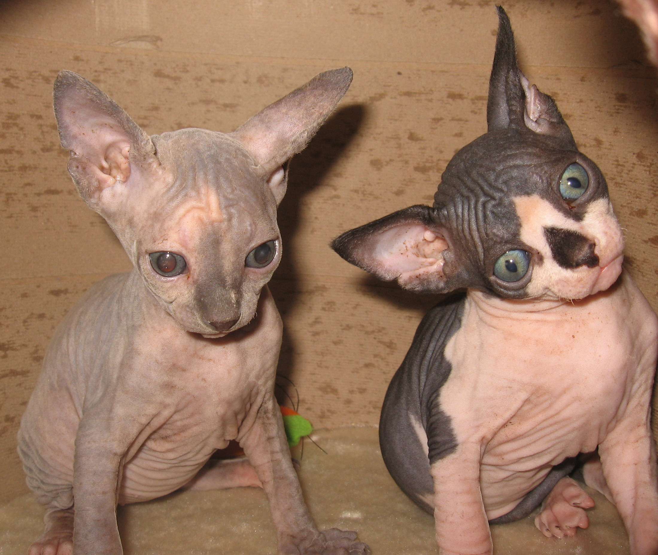Bella Remembered Sphynx Credentials and Testimonials