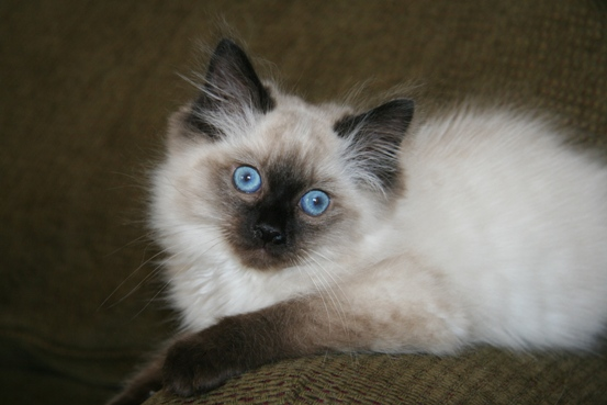 Ragdoll Cat Breeders - Locate