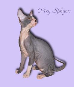 Don Sphynx Cat Breeders | Don Sphynx Kittens for Sale