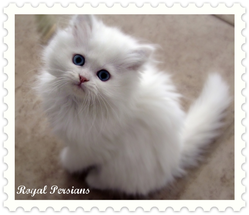 Blue Eyed White Doll Faced Persians