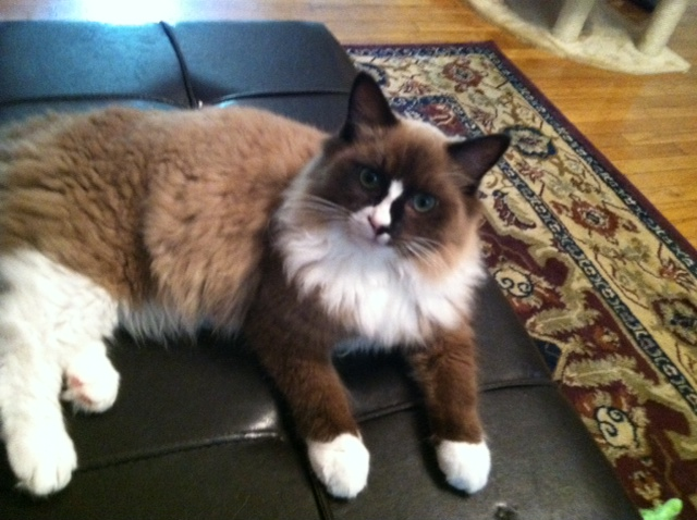 Ragdoll Kittens for sale in Kings Mountain North Carolina