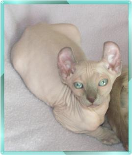 Elf Cat - Cross between a Sphynx and American Curl