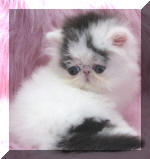 OceanPurrls Van Bi High White Bi Color and Solid White Persians.