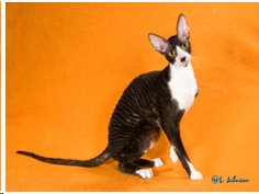 The Cornish Rex Picture and Breed Profile submitted by AngelWaves