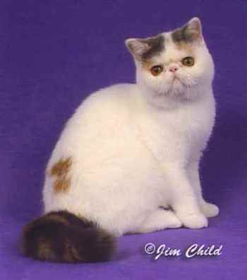 The Exotic Shorthair Breed profile and picture submitted by Marianne Lawrence of InstaPurr Cats