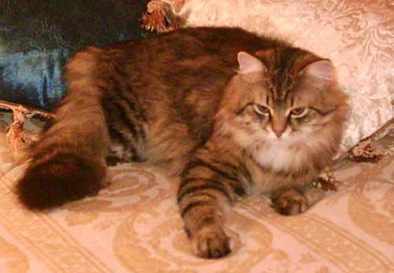 The Siberian Cat Description and Pictures provided by Regal Siberian